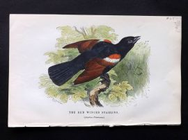 Gedney 1888 Antique Hand Col Bird Print. Red Winged Starling.